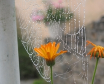 flowers and dew covered web